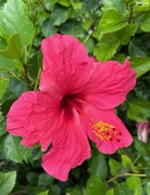 24th Aug 2020 - Red hibiscus