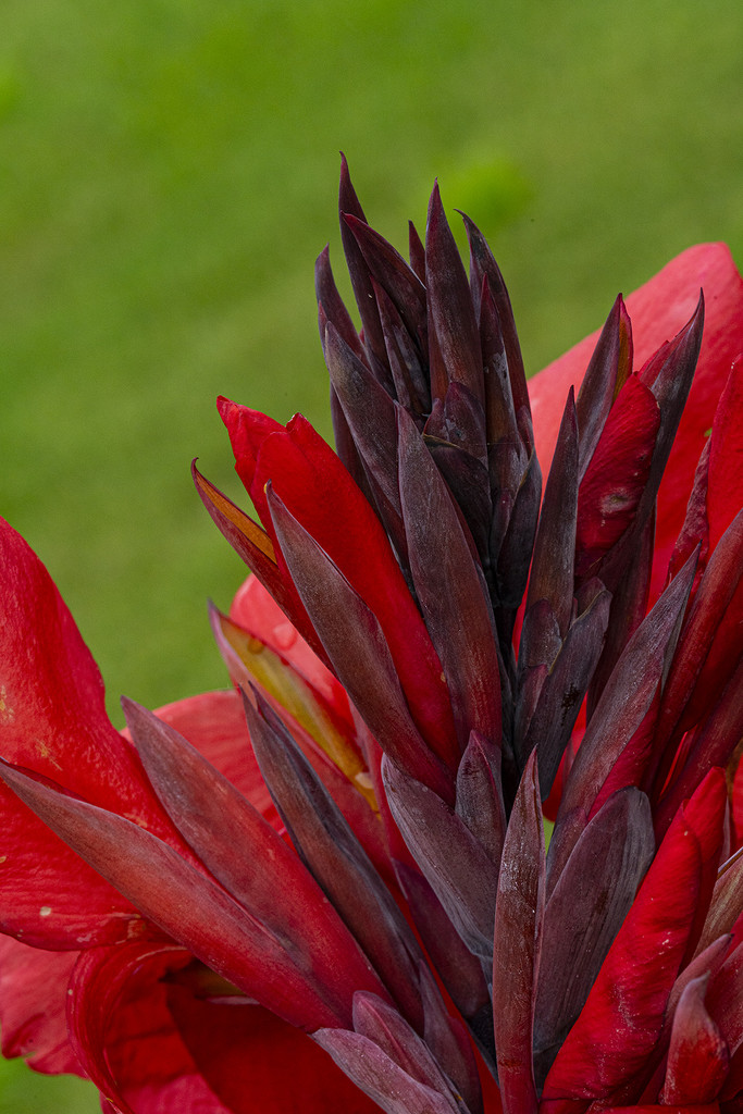 King Canna Buds by k9photo