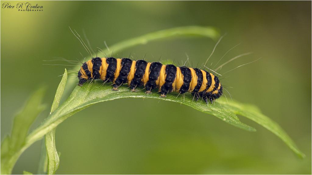 Cinnabar Moth Caterpillar by pcoulson