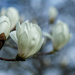 Two white magnolia flowers by maureenpp