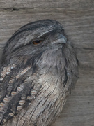 23rd Aug 2020 - Tawny Frogmouth