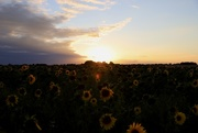 25th Aug 2020 - Sunflower Sunset