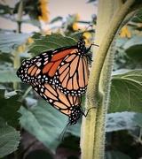 20th Aug 2020 - mating monarchs