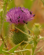 25th Aug 2020 - thistle