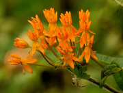 25th Aug 2020 - butterfly milkweed