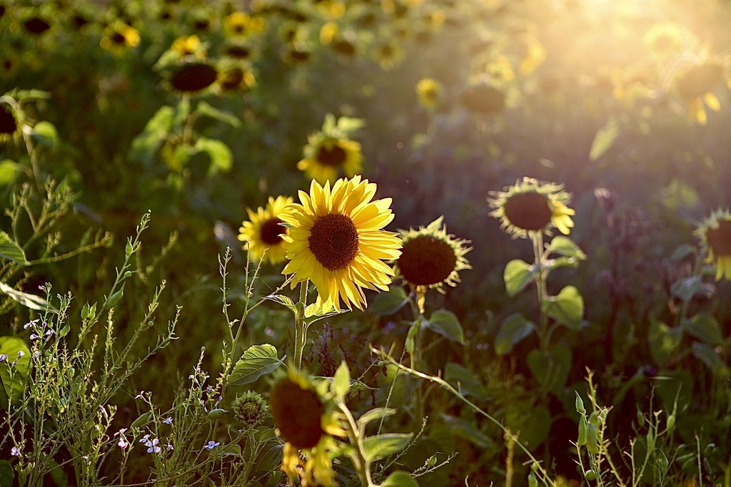 Sunflowers at Sunset by carole_sandford