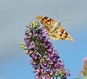 24th Aug 2020 - An afternoon with a Painted Lady
