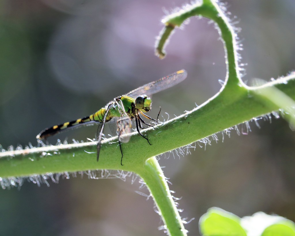 August 25: Dragonfly by daisymiller