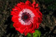 26th Aug 2020 - Full bloom