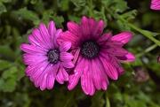25th Aug 2020 - Osteospermum Gelato Prune