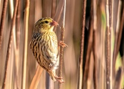 26th Aug 2020 - Mrs Red Bishop
