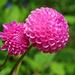 Pink by seattlite