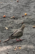 25th Aug 2020 - Mourning Dove
