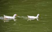 26th Aug 2020 - Ducks on the lake