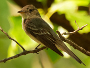 26th Aug 2020 - eastern wood-pewee
