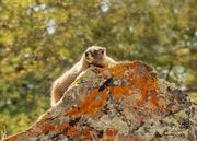 26th Aug 2020 - Marmot Basking in Sun