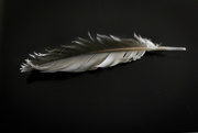 25th Aug 2020 - Lovely feather