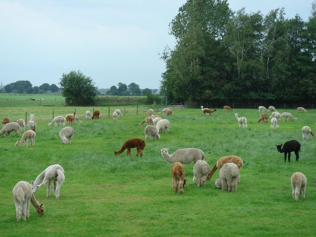 Alpaca farm by gijsje