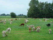 27th Aug 2020 - Alpaca farm