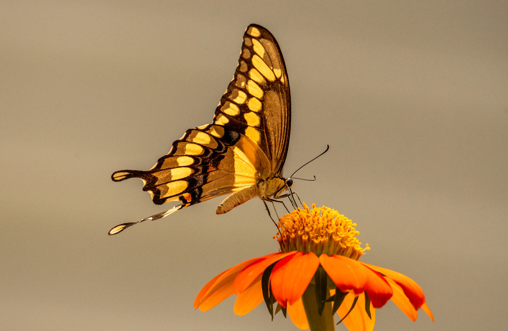 Eastern Tiger Swallowtail Butterfly! by rickster549