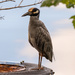 Yellow Crowned Night Heron! by rickster549