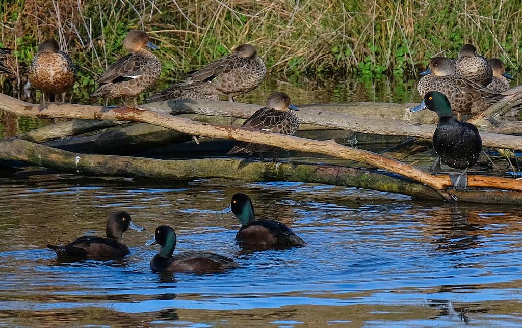 Feisty small ducks by maureenpp