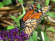 19th Aug 2020 - Monarch … with point-and-shoot camera
