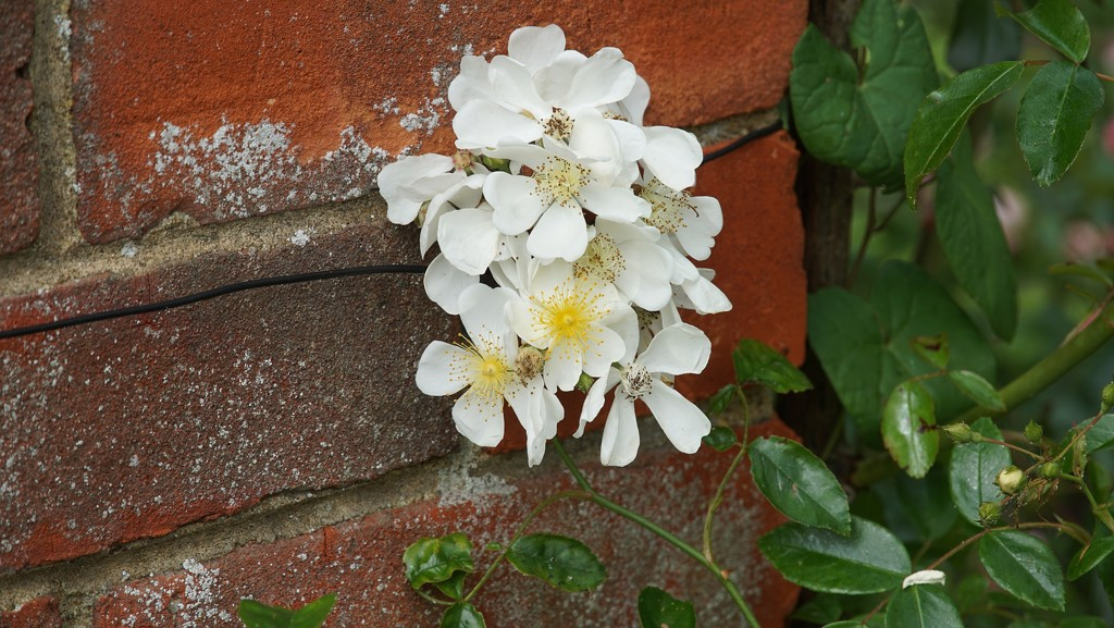 small roses on a wall by quietpurplehaze