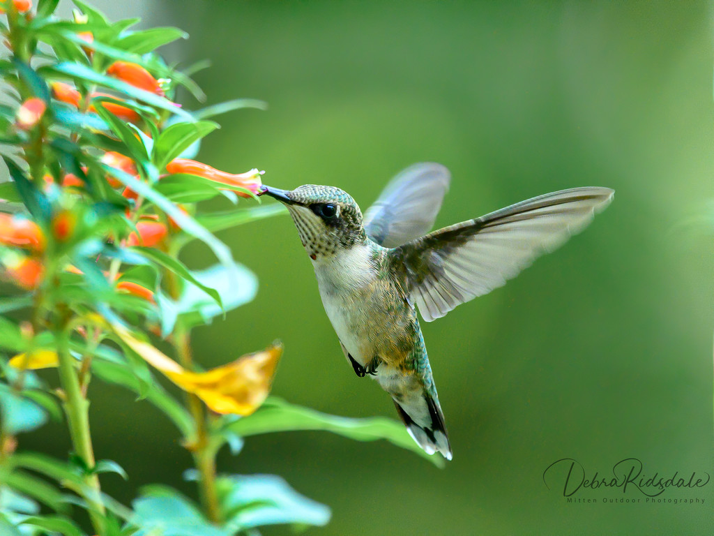 Hummingbird (female ruby-throated) by dridsdale