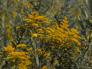 27th Aug 2020 - Canada goldenrod