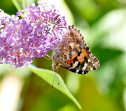 26th Aug 2020 - Painted Lady once more