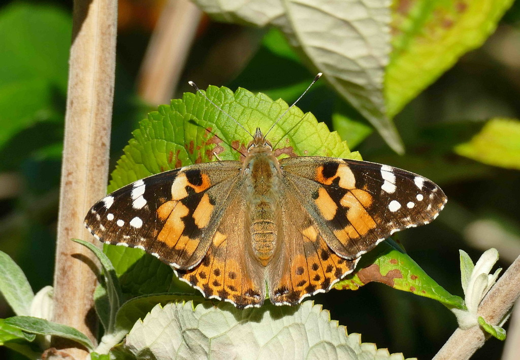 And again, Painted Lady   by jesika2