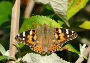 27th Aug 2020 - And again, Painted Lady
