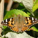 And again, Painted Lady