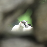 27th Aug 2020 - sheep through a wall