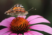31st Jul 2020 - Cone Flower Close-up