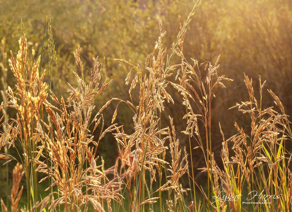 Golden by lynne5477