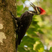 Male Pileated Woodpecker! by rickster549