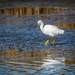 Snowy Egret at Sunset by nicoleweg
