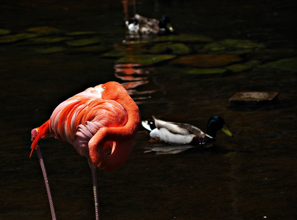 a flamingo wanna-be by summerfield