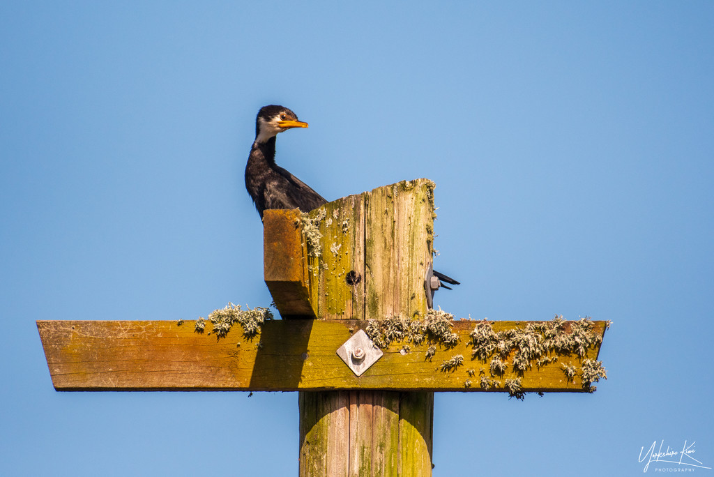 Shag on a Cross by yorkshirekiwi