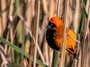 28th Aug 2020 -  Red Bishop