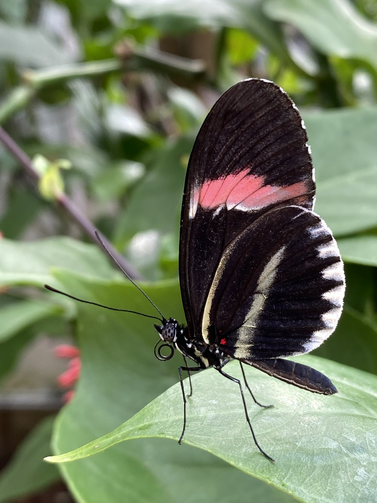 Crimson-patched longwing by tinley23