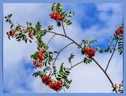 28th Aug 2020 - Rowan Berries