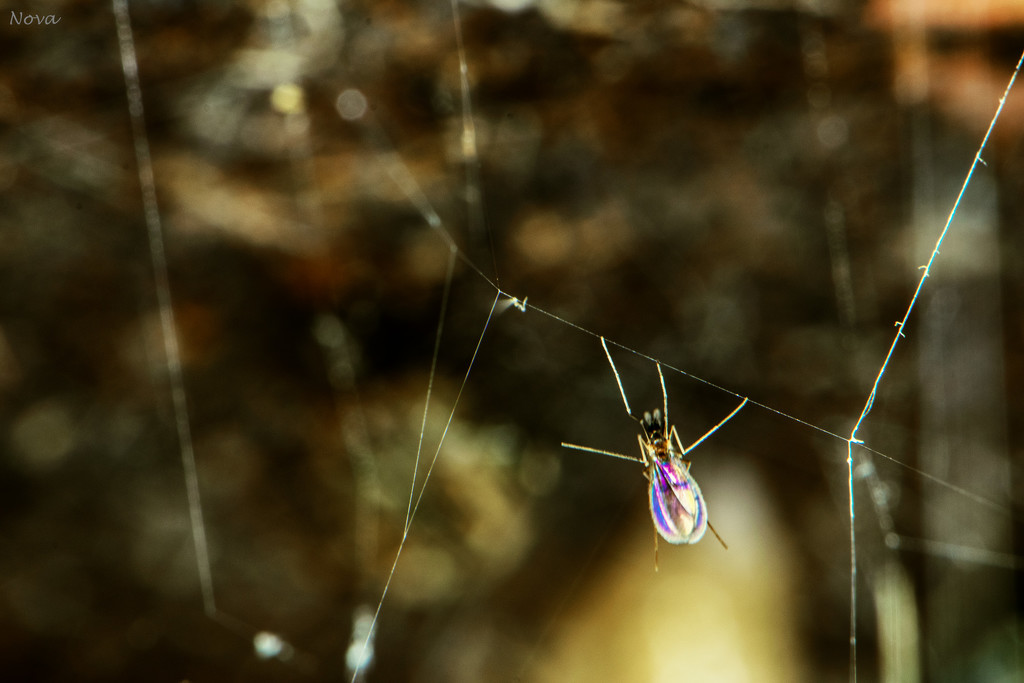 Caught in Gertrude's web by novab