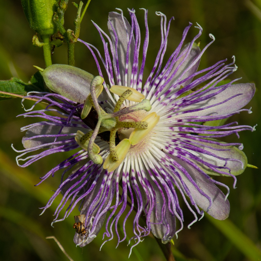 Passion fruit... by thewatersphotos