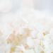hydrangea lace by pistache