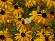28th Aug 2020 - black-eyed susans
