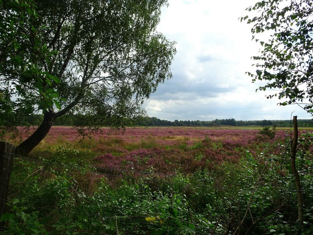 another field of heather by gijsje