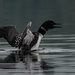 Loon  by radiogirl